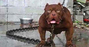 Deadly Dog That Killed Owners To Be Put To Death